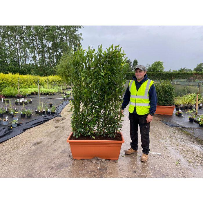 Sweet Bay Laurel  Planted Screen 1 metre long x 1.6 Metre Tall (inc planter)