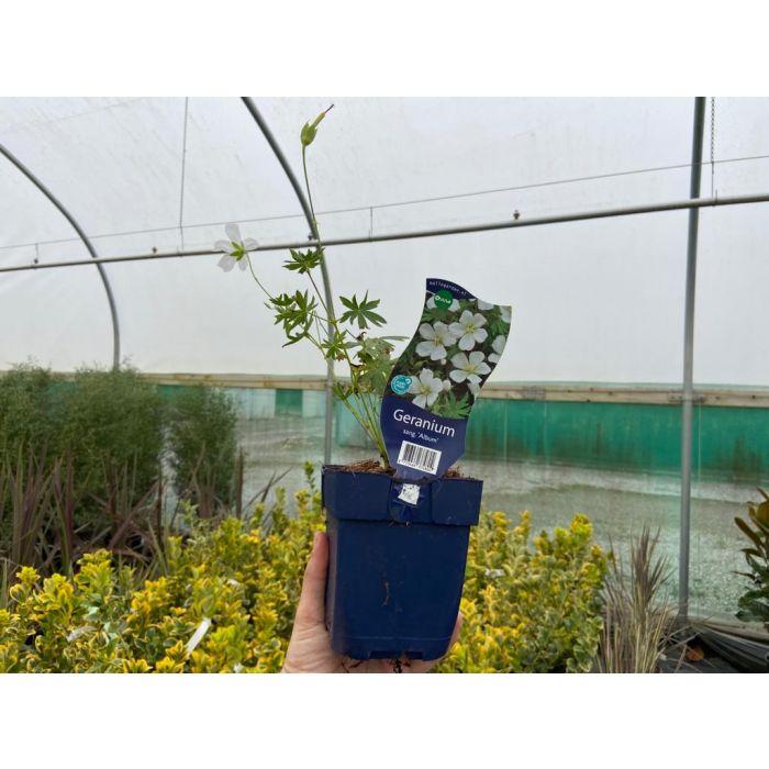 Geranium sanguineum Album 11cm Pot