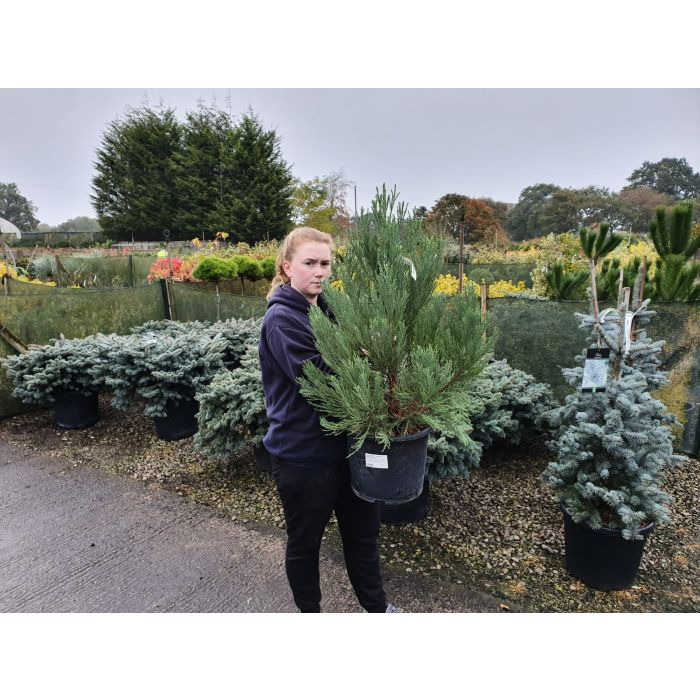 Sequoiadendron Giganteum 15 Litre Pot