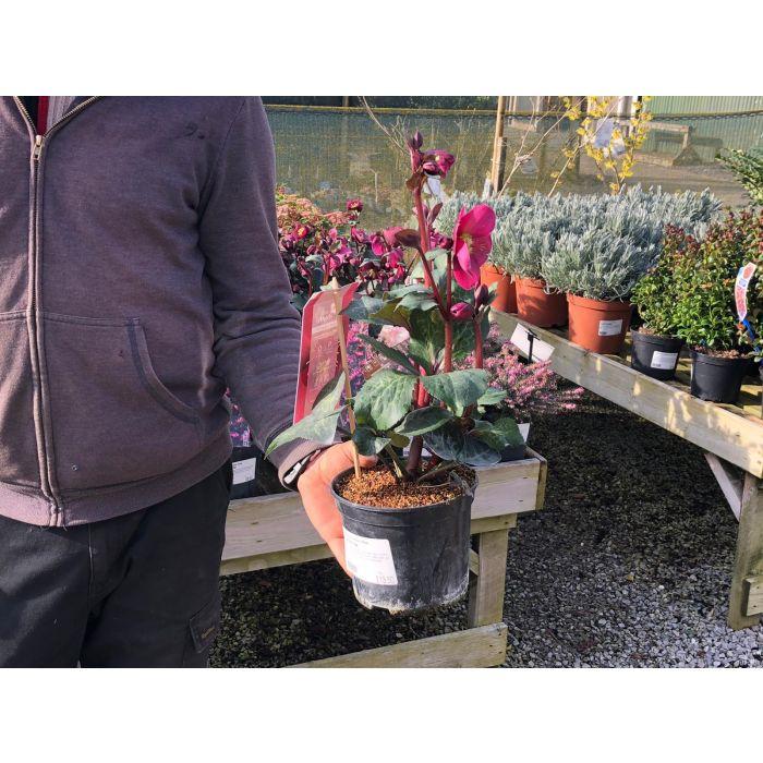 Helleborus Victoria 2 Litre Pot