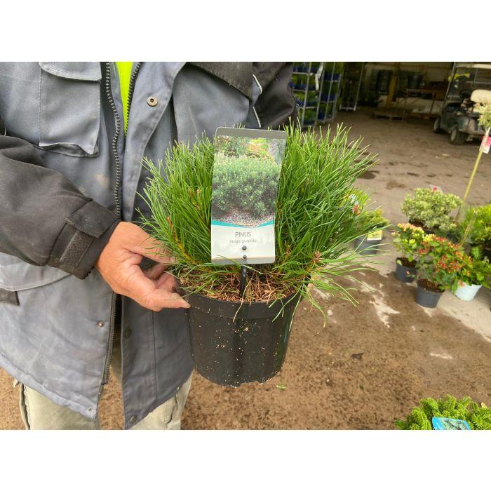 Pinus Mugo Pumilio 3 Litre Pot