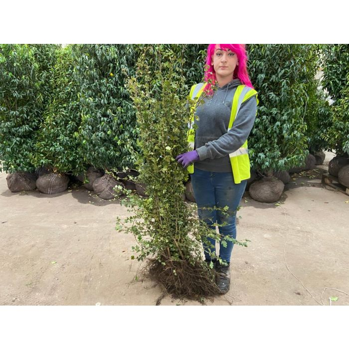 Hawthorn Hedging Bare Root 80-120 cm Digging Now