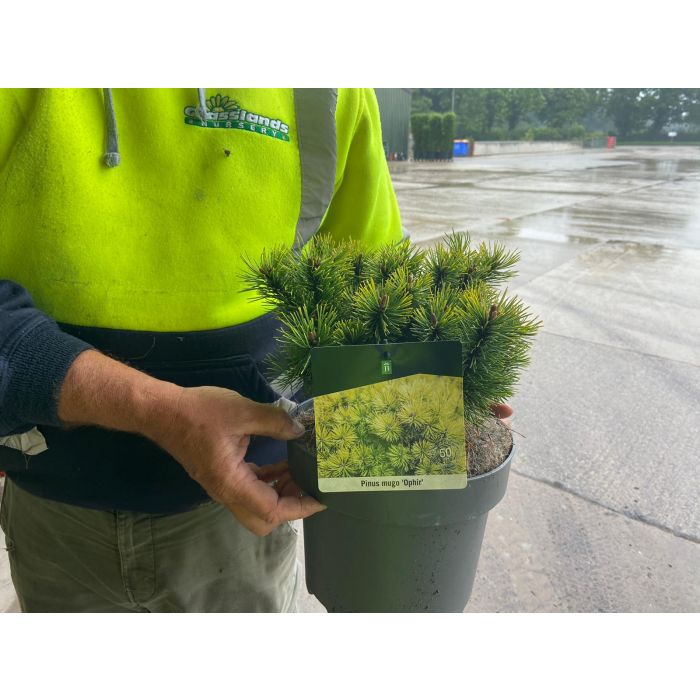 Pinus Mugo Ophir 5 Litre Pot