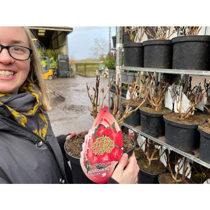 Hydrangea Mac Kardinal Red 5 Litre Pot