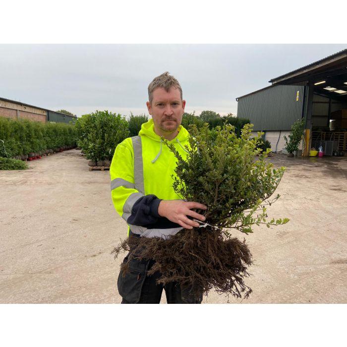 Ilex Crenata Green Hedge 20/30cm Bare Root