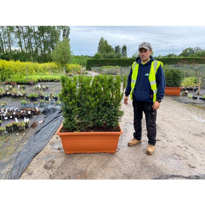 English Yew Planted Screen 1 metre long x 1.2 Metre Tall (inc planter)