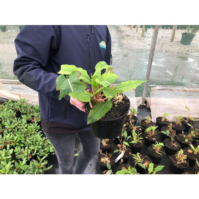 Persicaria Blackfield 2 Litre Pot