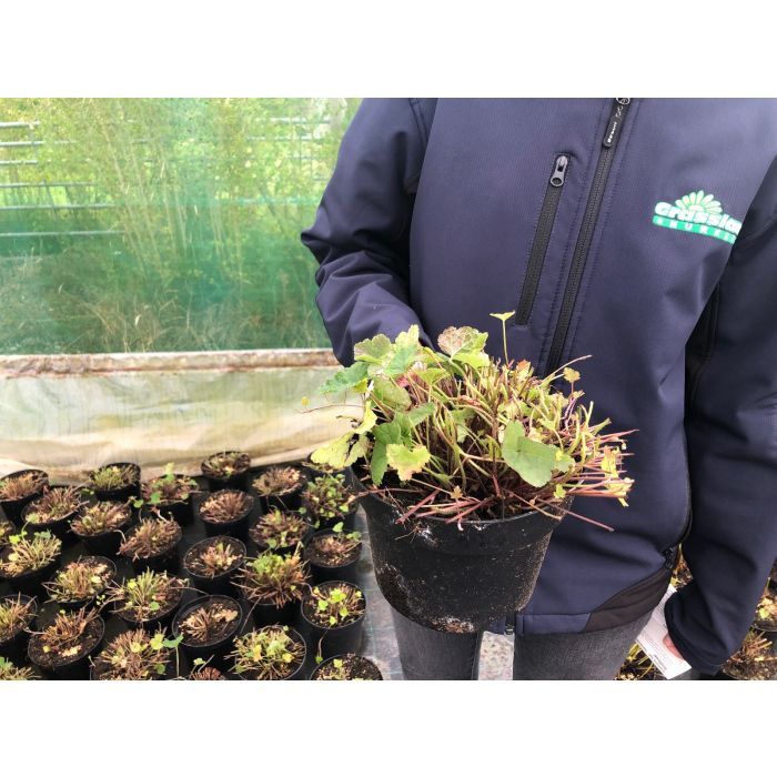 Tiarella Cordifolia 2 Litre Pot
