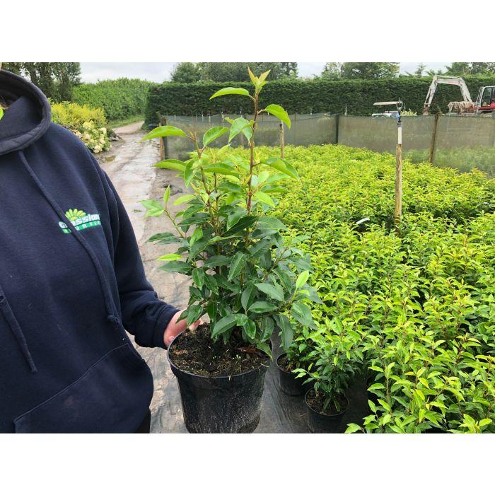 Portuguese Laurel Myrtifolia 3 Litre Pot