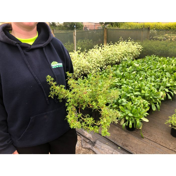 Potentilla fruticosa Primrose Beauty 2 Litre Pot