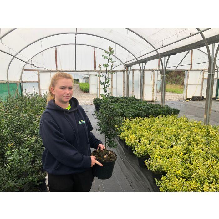 Ilex Aquifolium 5 Litre Pot