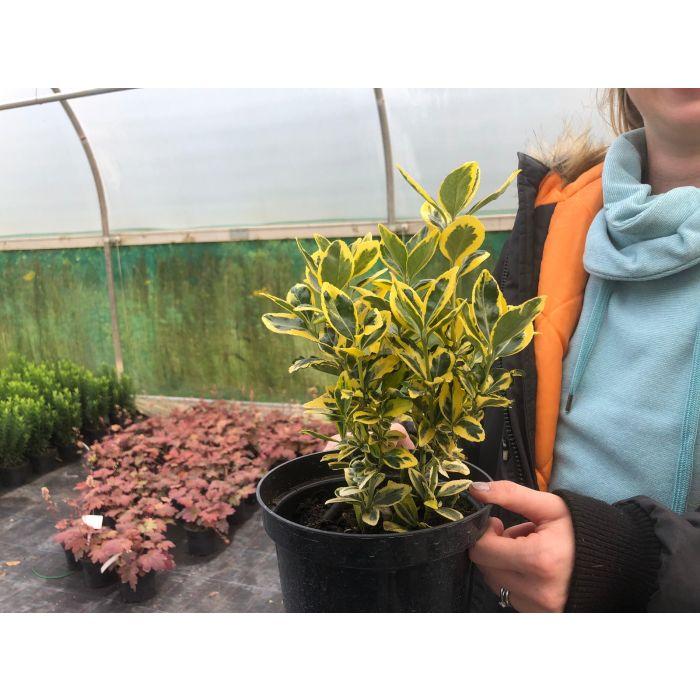 Euonymus Japonicus Marieke 2 Litre Pot