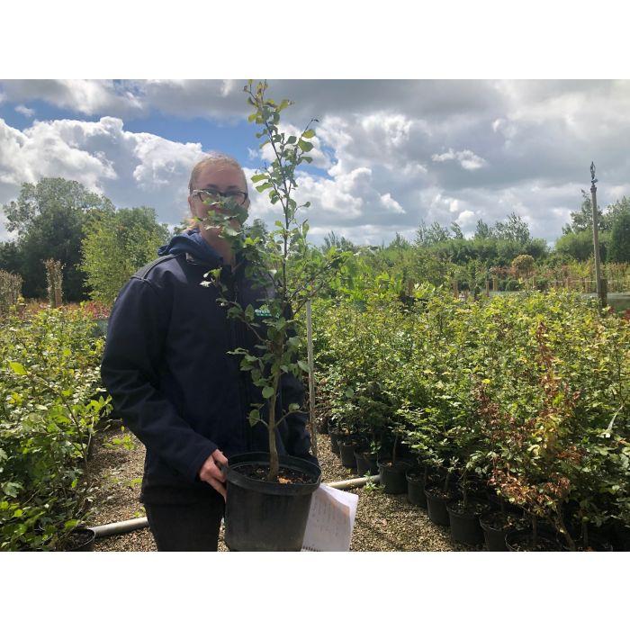 Beech Hedging Green  80/100cm 4 Litre Pot