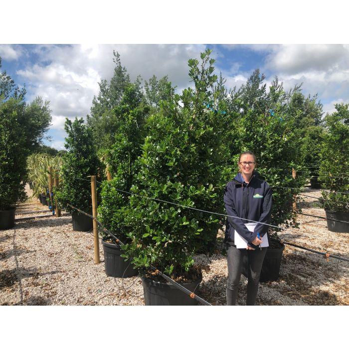 Holly Aquifolium 110 Litre 210/220cm Extra Heavy Specimen