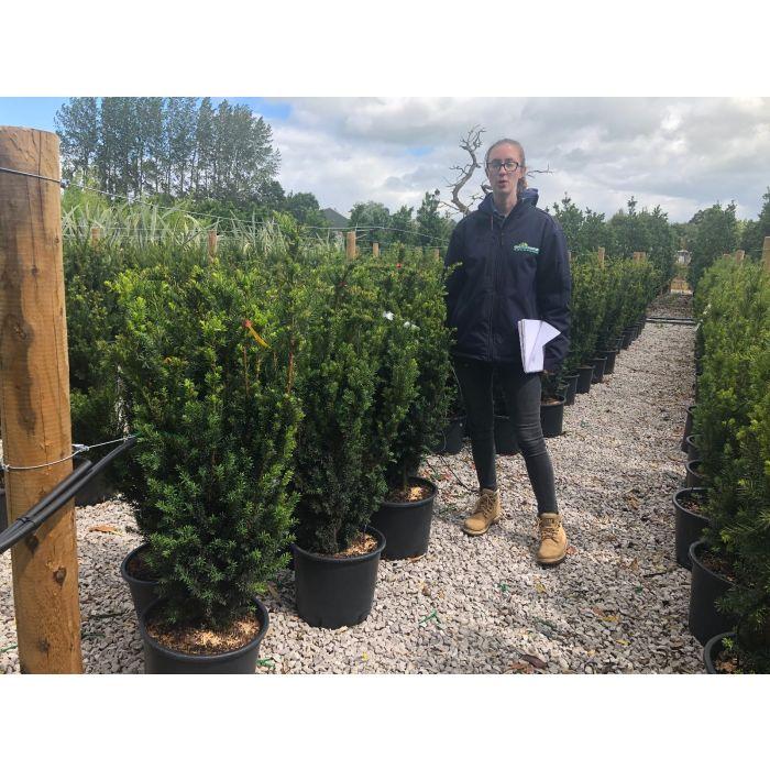 Yew Hedging 15 Litre Pot 80-100cm