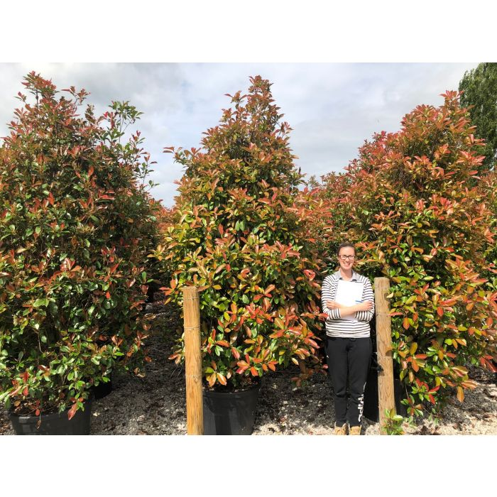 Photinia Red Robin 110 Litre Pot 250/270cm