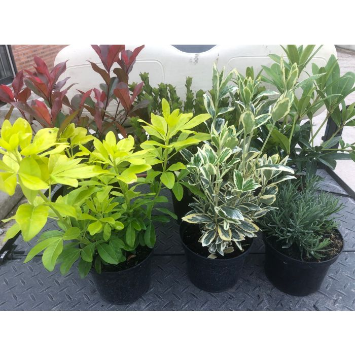 Hardy Evergreen Shrub Mix 2/3 Litre Pots 6 Plants + Free Food