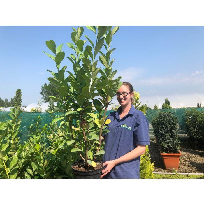 Laurel Hedging 7.5 Litre Pot 110/120cm