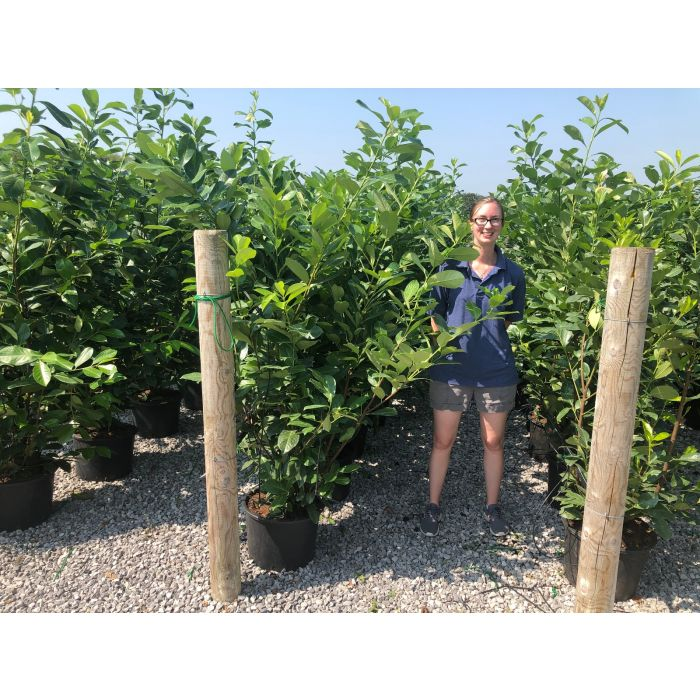 Laurel hedging 25 Litre Pot Grown 170/180cm