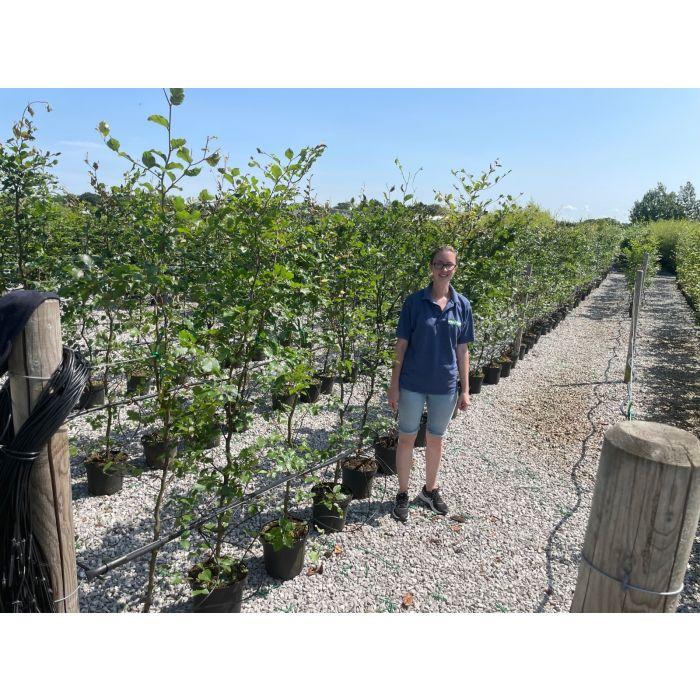 Beech Hedging Green 175-200cm 7.5 Litre Pot Grown