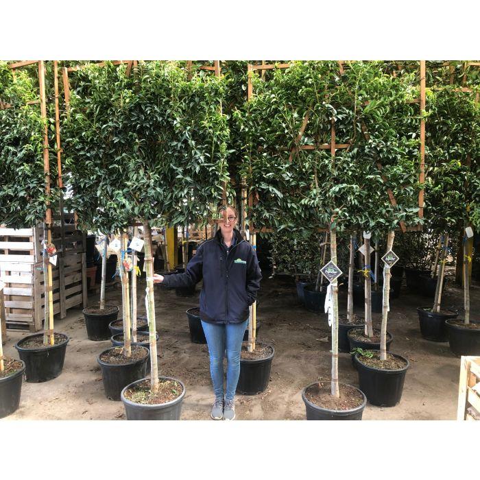 Prunus lusitanica Angustifolia 1/2 Standard Pleached Tree