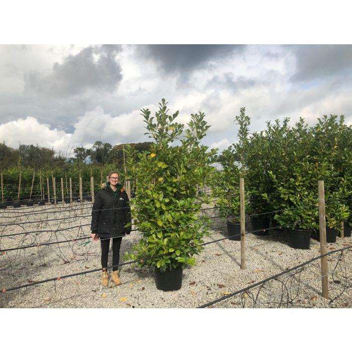 Laurel Hedging 55 Litre Pot 210/240 cm