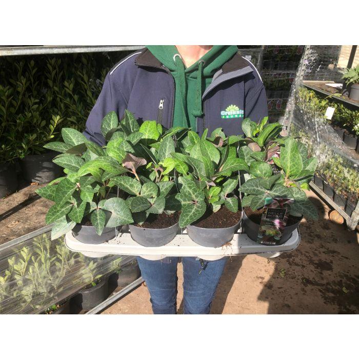Helleborus White & Green Flower Mix