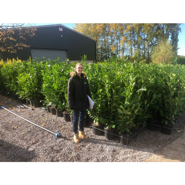 Laurel Hedging 15 Litre Pot 130-140cm