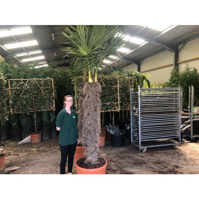 Trachycarpus Fortunei 90 Litre Pot