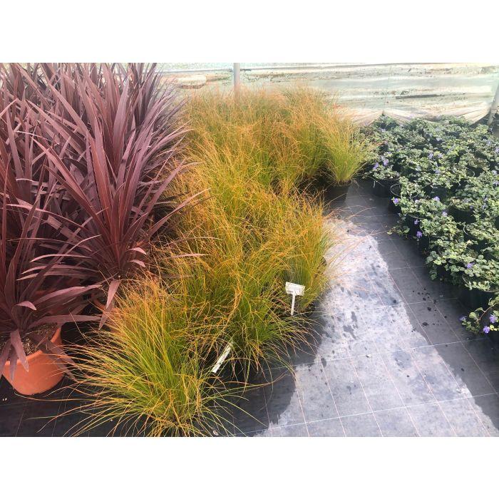 Carex Testacea Prairie Fire 2 Litre Pot