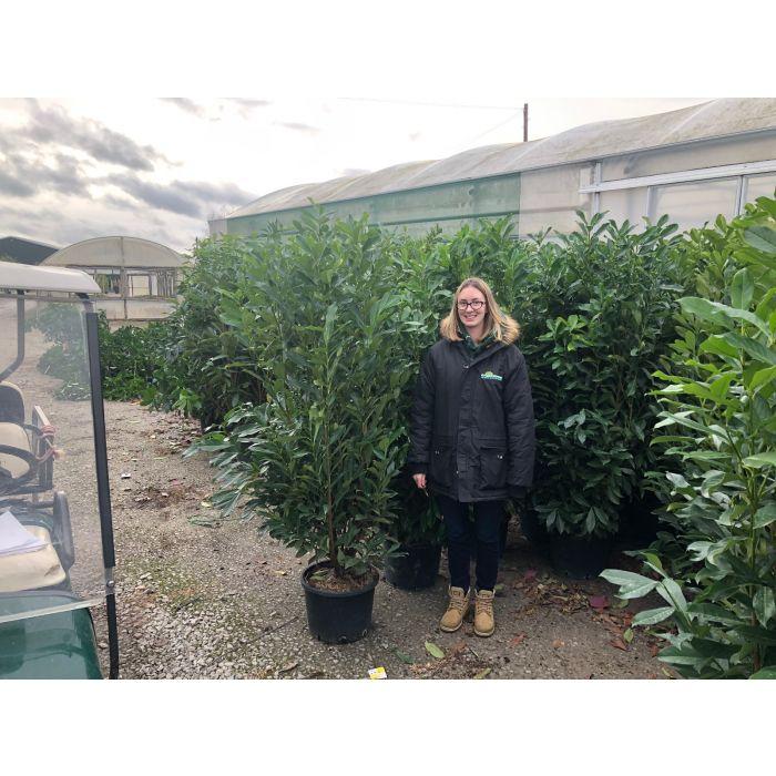 Laurel Hedging Caucasica 25 Litre Pot Grown 1.6-1.8 Metre