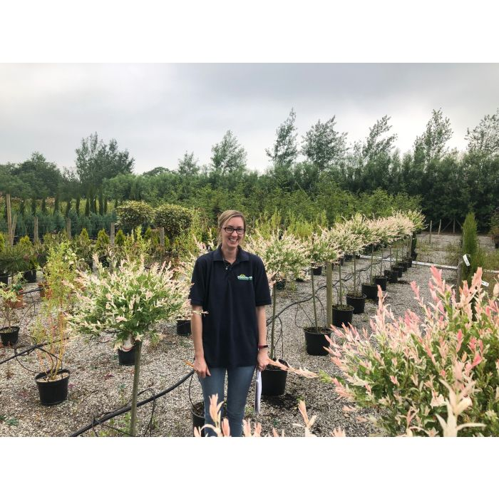 Salix integra Hakuro Nishiki 15 litre Pot 80cm Stem