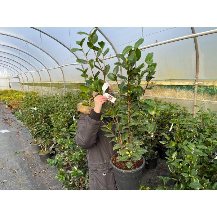 Camellia Japonica California 9 Litre Pot