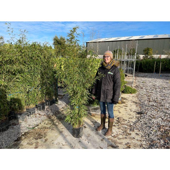 Bamboo Phyllostachys Aurea 9 Litre Pot 160/180