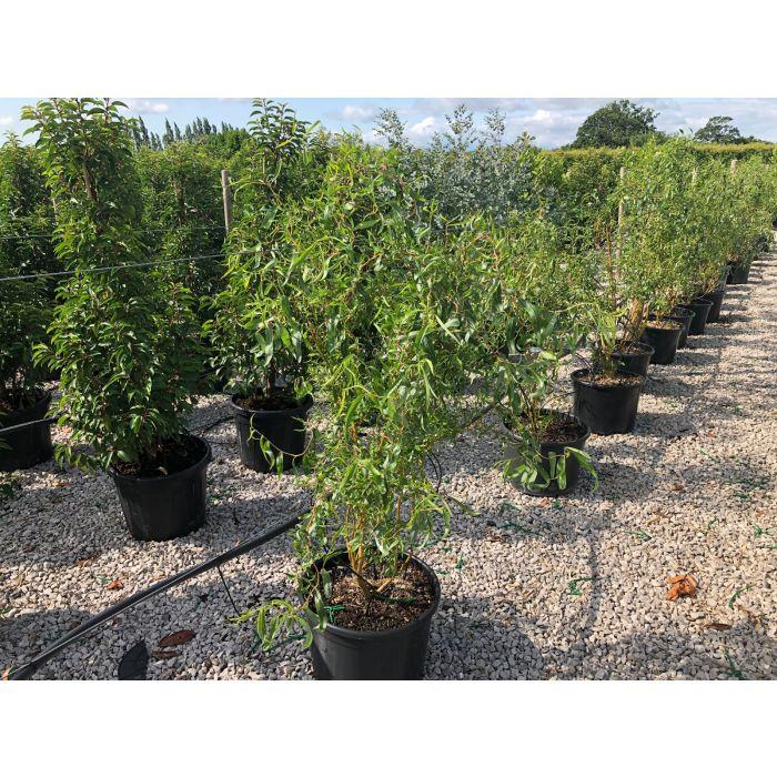 Salix x Erythroflexuosa 30 Litre Pot