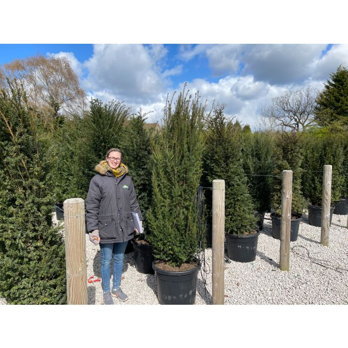 Yew Hedging 70 Litre Potted 160/170cm Ready In June