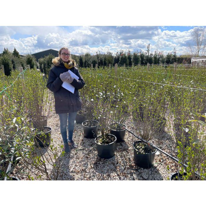 Green Privet 20 Litre Pot Grown 125/150cm Ready In June
