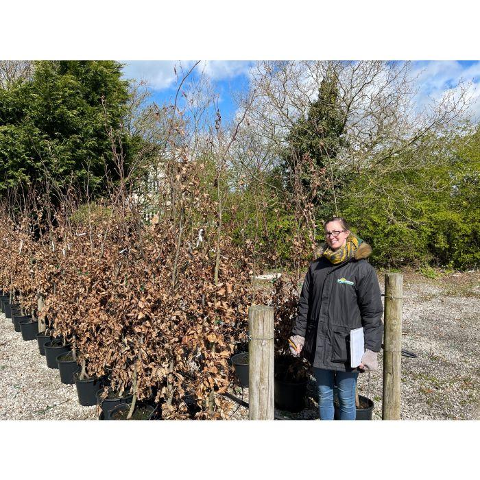 Beech Hedging Green 15 /20 Litre Pot 200 / 220