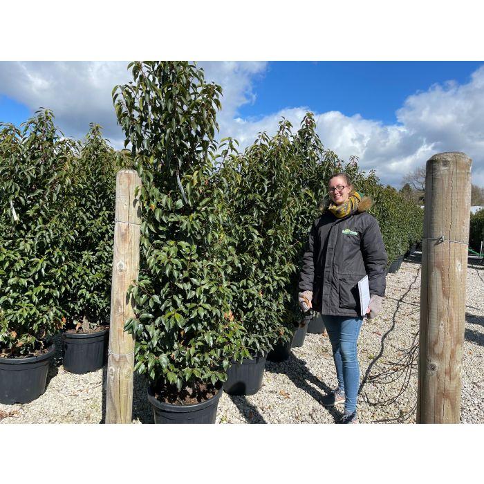 Portuguese Laurel 180/200cm 35 Litre Pot