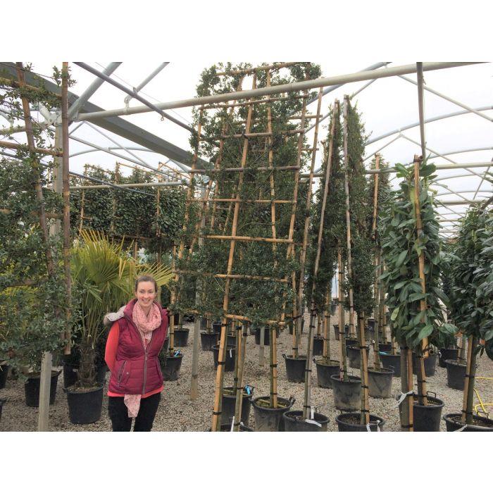 Ilex Crenata Green Hedge Pleached Tree