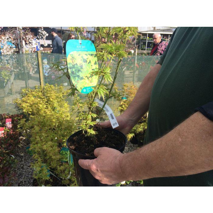 Acer Palmatum Berry Broom 5 Litre Pot