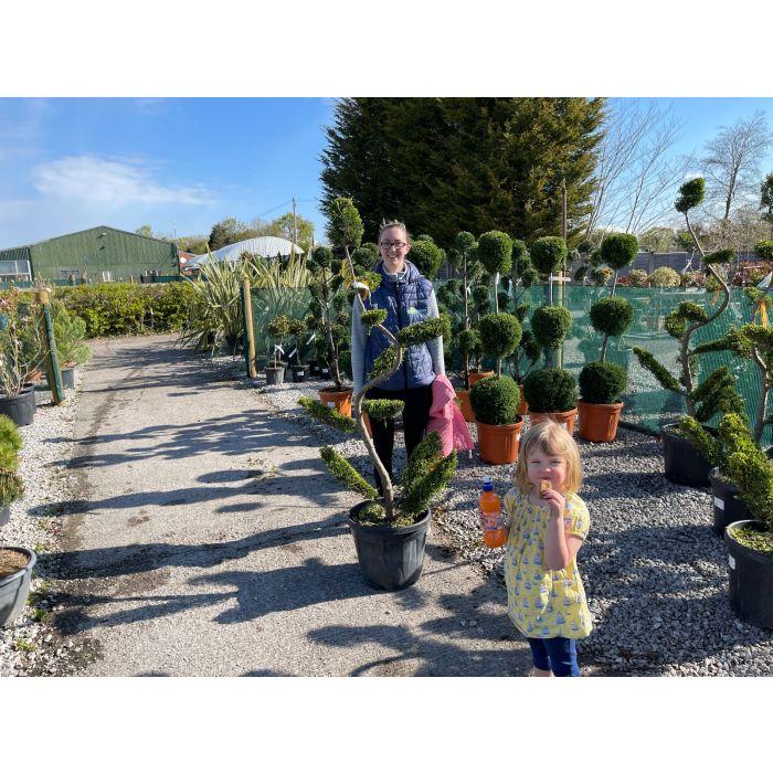 Cupressus Castlewellan Bonsai 30 Litre Pot 150cm