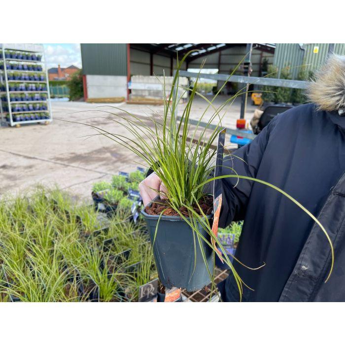 Carex Testacea Prairie Fire 1 Litre Pot
