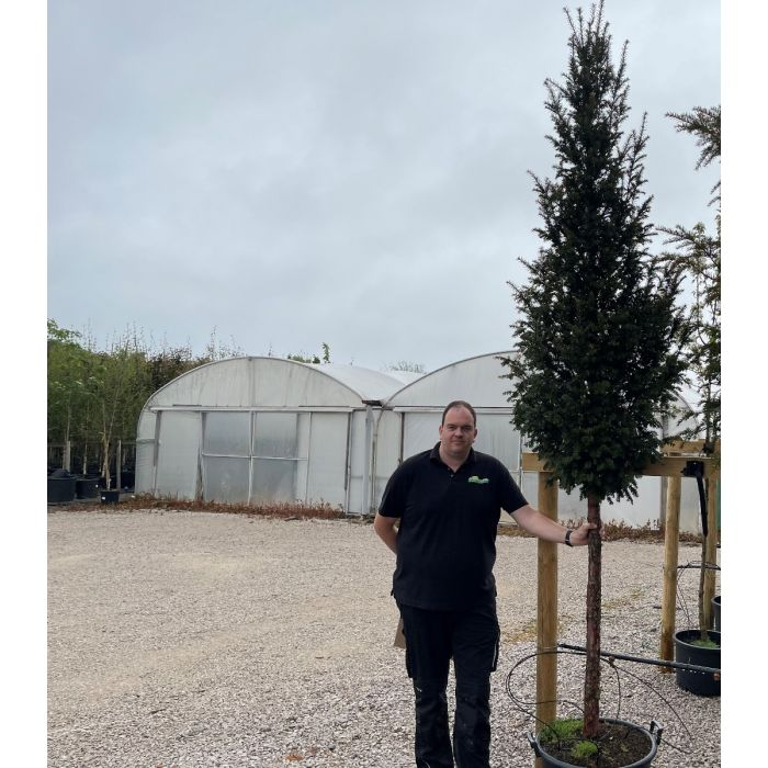 Yew  or Taxus Baccata Standard Tree 16-18cm Girth
