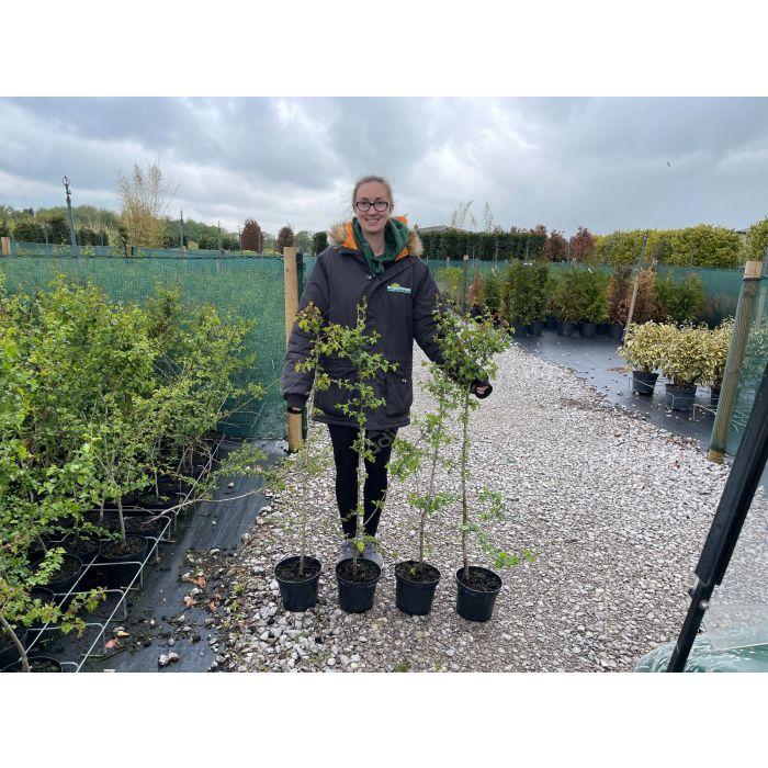 Hawthorn Hedging Pot Grown 3 Litre Pot 90-100 Tall