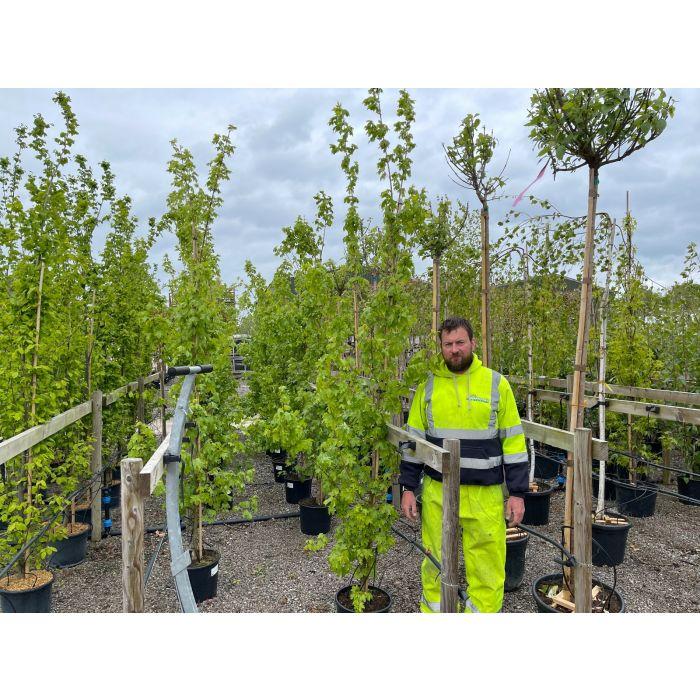 Acer campestre Elsrijk 15 Litre Pot