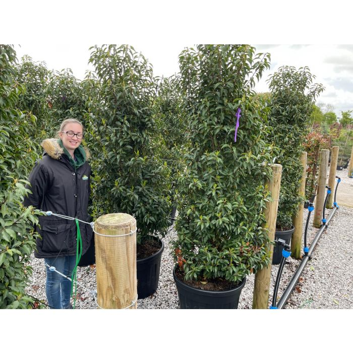 Prunus Lusitanica Myrtifolia 90 Litre 190/200cm Extra Wide