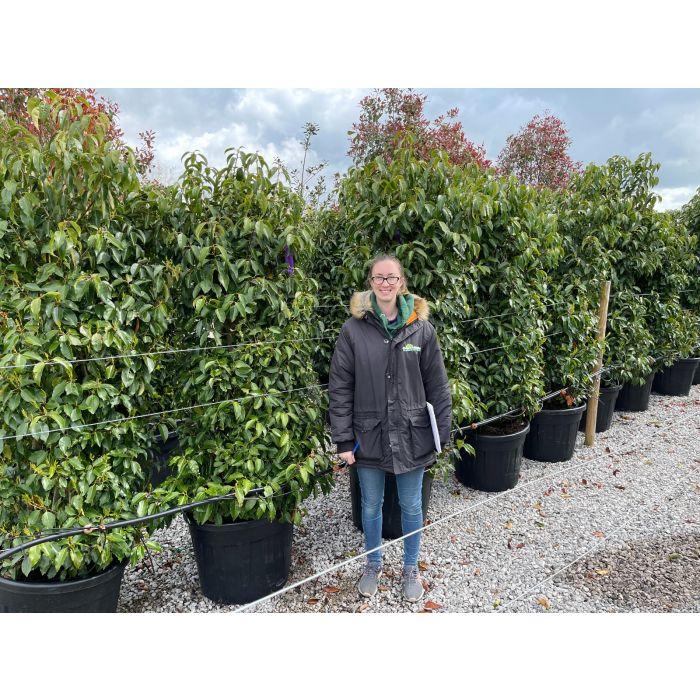 Prunus Lusitanica 90 Litre Pot 180/190cm Extra Wide