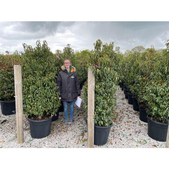 Prunus Lusitanica 70 Litre Pot 150/160cm Extra Wide