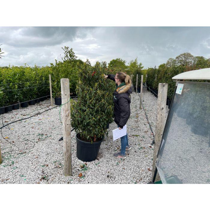 Prunus Lusitanica 70 Litre Pot 130/140cm Extra Wide